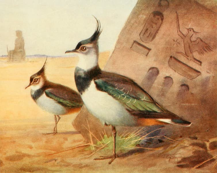 Egyptian Birds - Green Plover or Lapwing (1909)