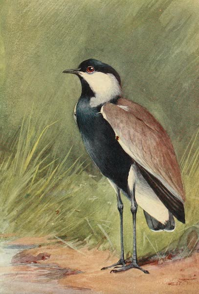 Egyptian Birds - Spur-winged Plover (1909)
