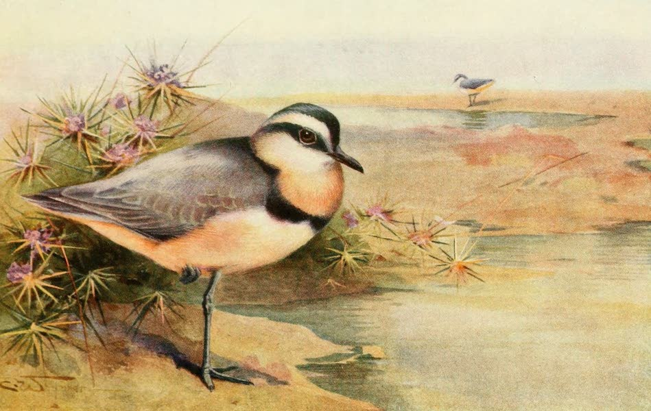 Egyptian Birds - Black-headed Plover (1909)