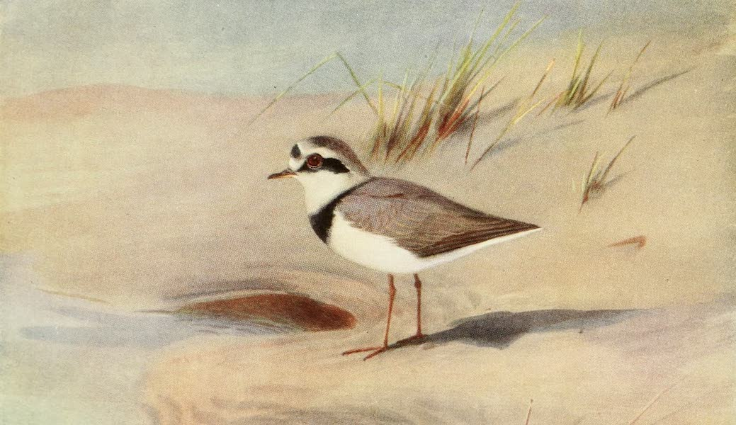 Egyptian Birds - Ringed Plover (1909)