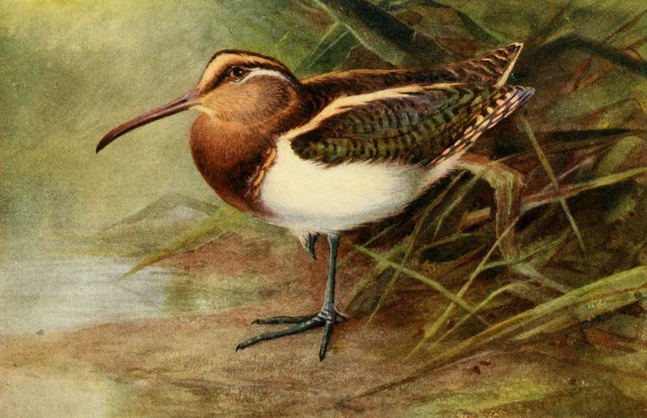 Egyptian Birds - Painted Snipe (1909)