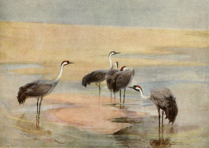 Egyptian Birds - Cranes (1909)