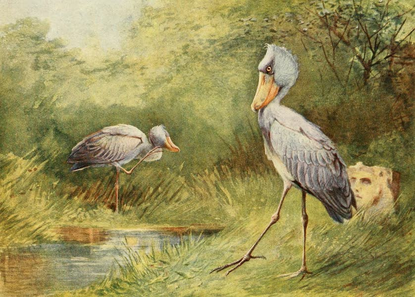 Egyptian Birds - Shoebill Stork (1909)