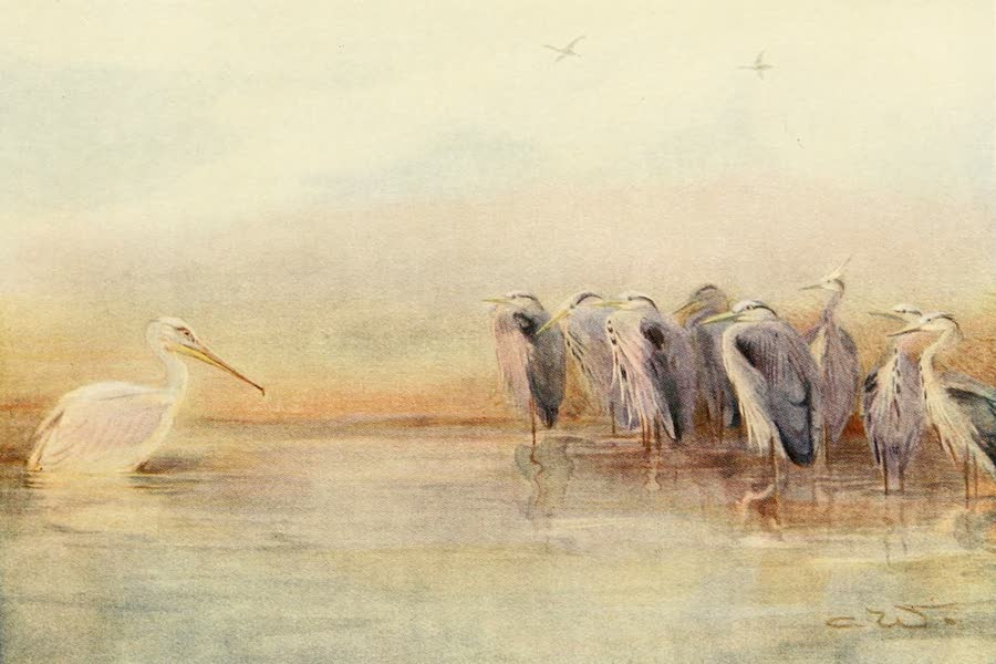 Egyptian Birds - Herons (1909)