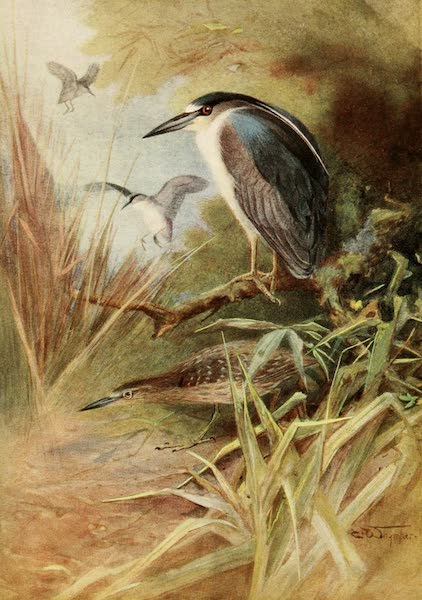 Egyptian Birds - Night Heron (1909)