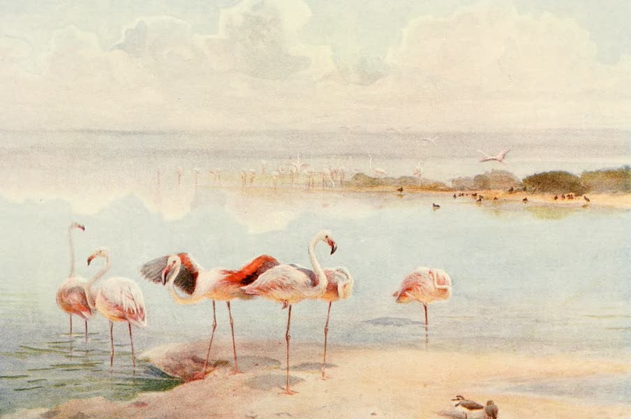Egyptian Birds - Flamingo (1909)