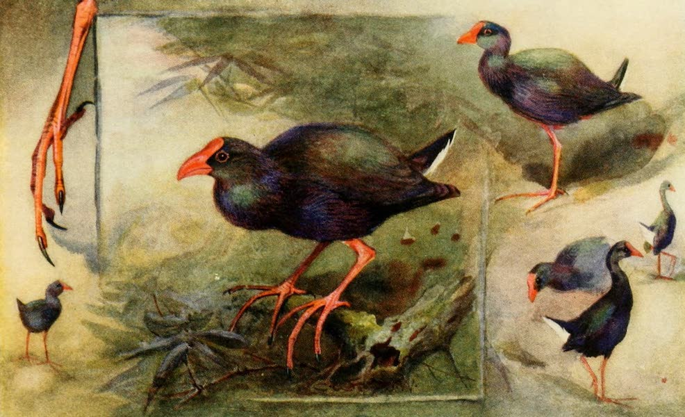 Egyptian Birds - Studies of Gallinule (1909)