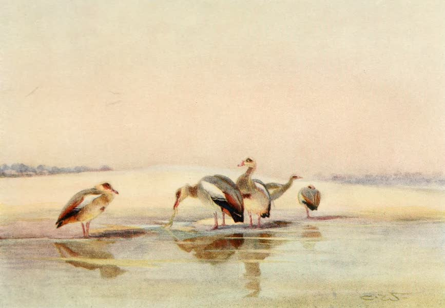 Egyptian Birds - Egyptian Geese (1909)