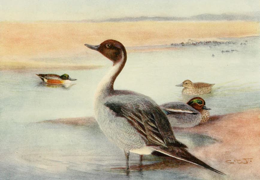 Egyptian Birds - Pintail, Teal, and Shoveller Duck (1909)