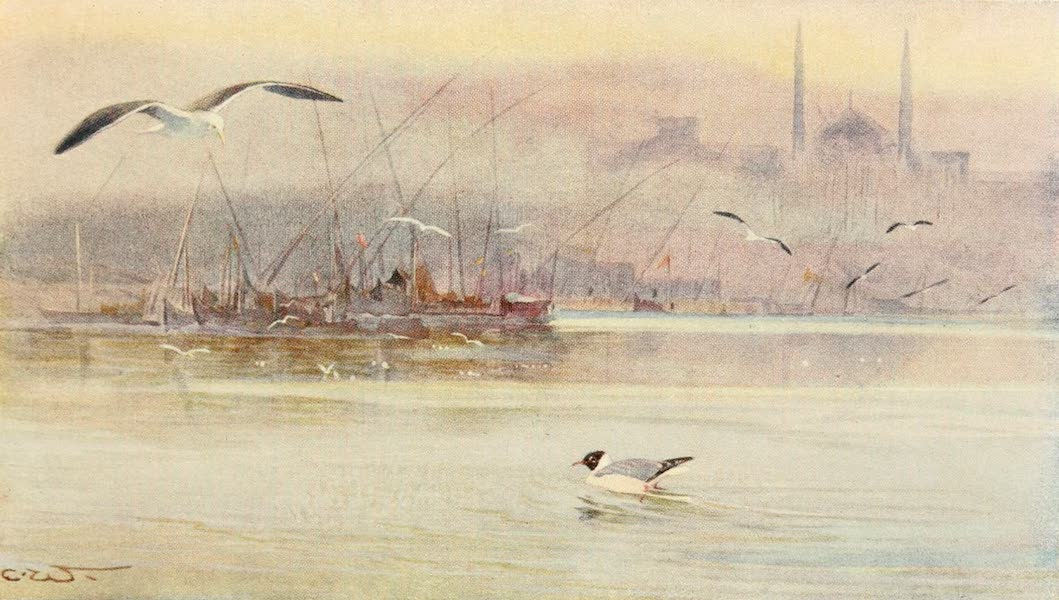 Egyptian Birds - Lesser Black-backed Gull and Black-headed Gull (1909)