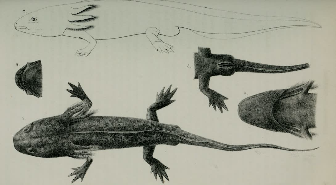 Exploration and Survey of the Valley of the Great Salt Lake of Utah - Reptiles: Siredon Lichenoides, Plate I (1852)