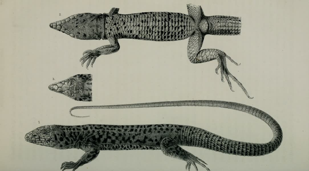 Exploration and Survey of the Valley of the Great Salt Lake of Utah - Reptiles: Cnemidophorus Tigris, Plate II (1852)