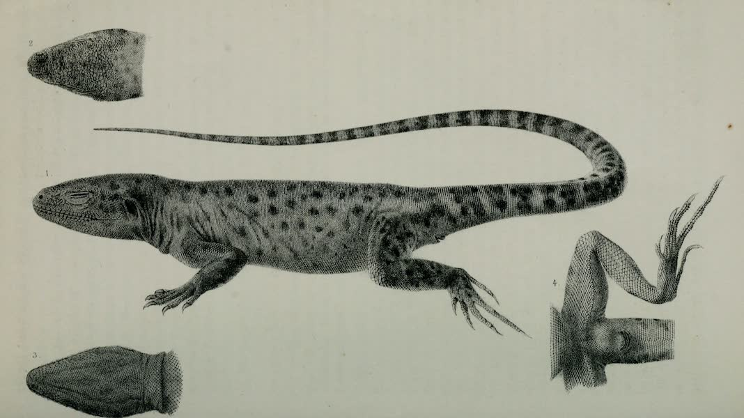 Exploration and Survey of the Valley of the Great Salt Lake of Utah - Reptiles: Crotaphytus Wislizenii, Plate III (1852)