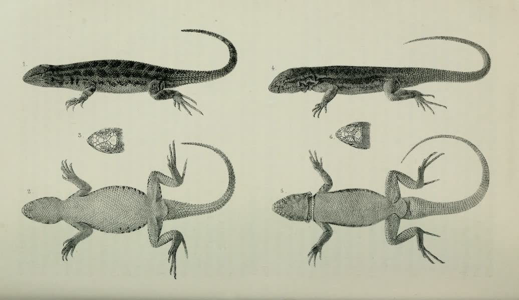 Exploration and Survey of the Valley of the Great Salt Lake of Utah - Reptiles: Sceloporus Graciosus - Uta Stansburiana, Plate V (1852)