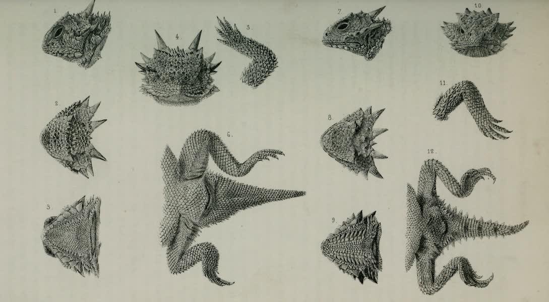Exploration and Survey of the Valley of the Great Salt Lake of Utah - Reptiles: Phrynosoma Cornuta - Phrynosoma Coronata, Plate VIII (1852)