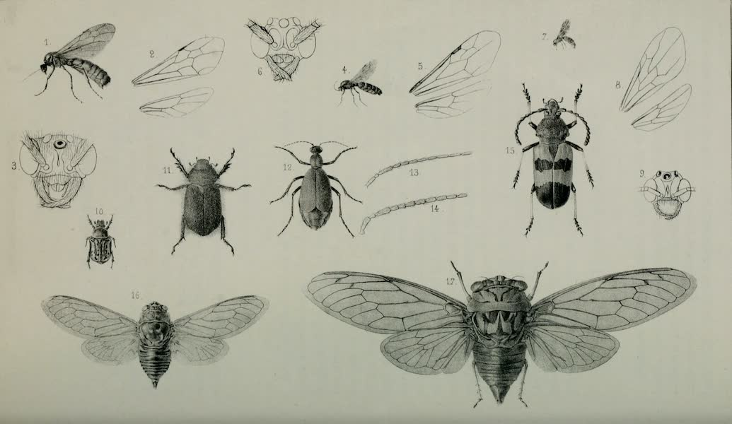 Exploration and Survey of the Valley of the Great Salt Lake of Utah - Insects: Labidus Saji - L. Harrisii - L. Melshajmeri - Euphoria Cernii - Cotalpa Granicollis - Henous Techanus - Megaderus Corallifer - Cicada Striatipes - C. Rer., Plate IX (1852)
