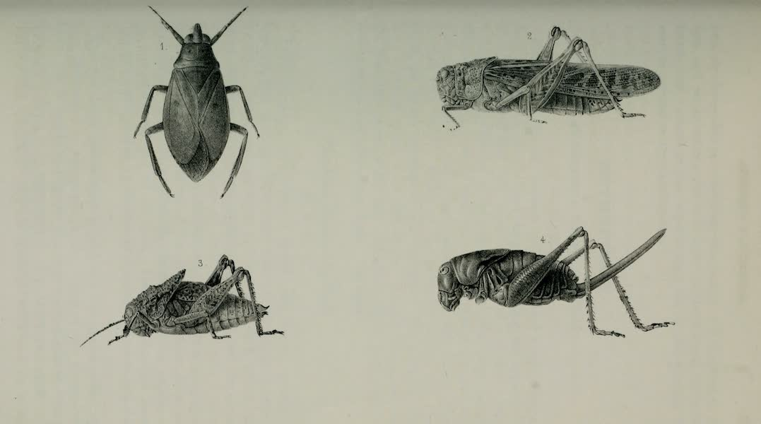 Exploration and Survey of the Valley of the Great Salt Lake of Utah - Insects: Zaitha Bifoveata - Oedipoda Corallipes - Ephippiger Trivavensis - Anabrus Simplex, Plate X (1852)