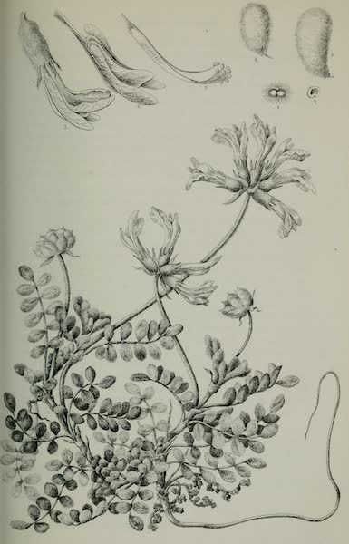 Exploration and Survey of the Valley of the Great Salt Lake of Utah - Plants: Phaca Mollissima, Plate II (1852)