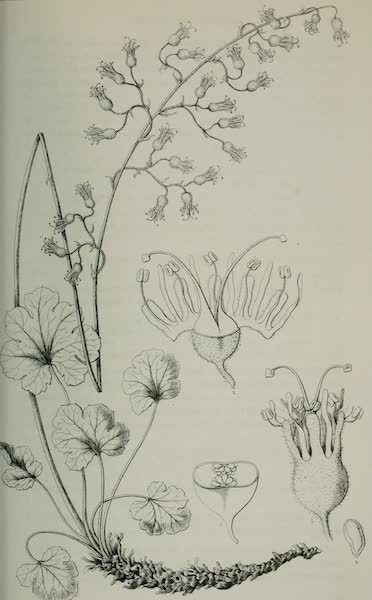 Exploration and Survey of the Valley of the Great Salt Lake of Utah - Plants: Heuchera Rubescens, Plate V (1852)