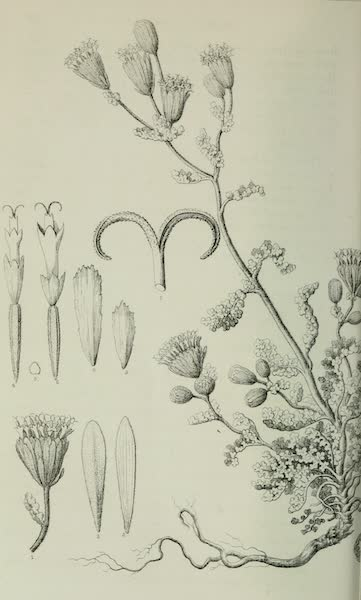 Exploration and Survey of the Valley of the Great Salt Lake of Utah - Plants: Monothrlx Stansburiana, Plate VII (1852)