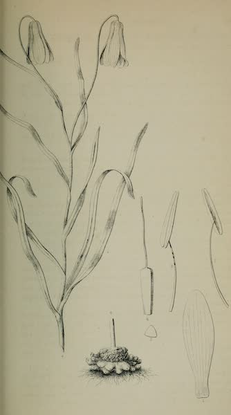 Exploration and Survey of the Valley of the Great Salt Lake of Utah - Plants: Amblirion Pudicum, Plate IX (1852)