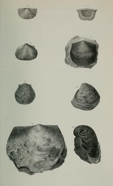 Exploration and Survey of the Valley of the Great Salt Lake of Utah - Paleontology: Brachiopoda: Chonetes variolata - Productus costatus - P. semireticulatus P. - (sp. indet.) Orthis umbraculum ? Plate III (1852)
