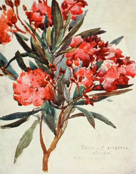 "Florence & Some Tuscan Cities Painted and Described - Study of Pink Oleander Blossom, the ""Mazza di San Guiseppe"" (1905)"