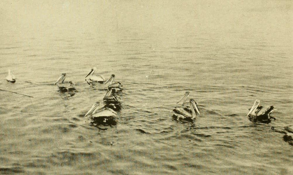 Florida, the Land of Enchantment - Pelicans (1918)