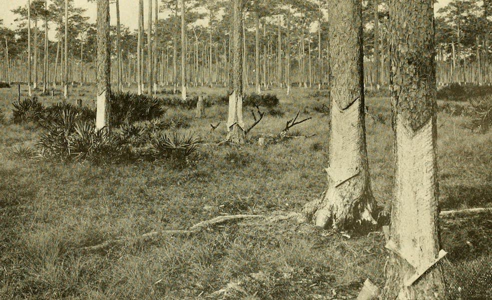 Florida, the Land of Enchantment - A Turpentine Grove (1918)
