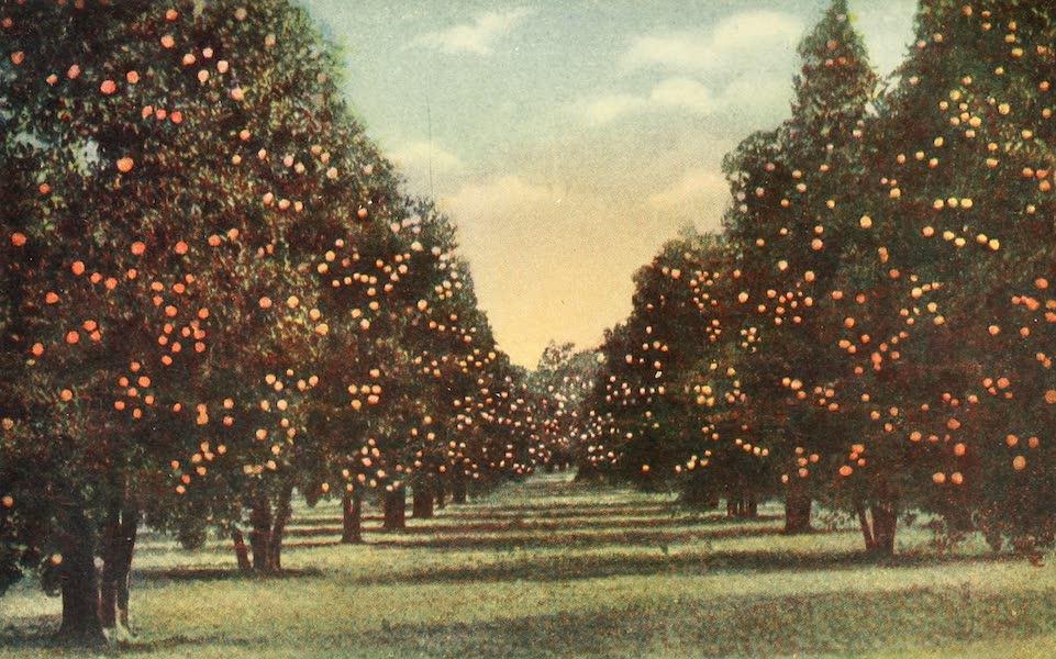 Florida, the Land of Enchantment - An Orange Grove (1918)