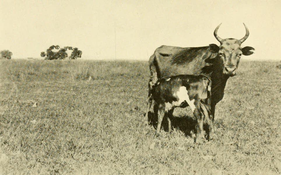 Florida, the Land of Enchantment - Florida Cattle (1918)