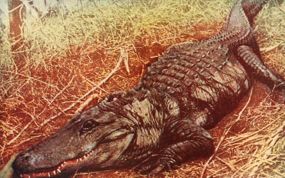Florida, the Land of Enchantment - A Florida Alligator (1918)