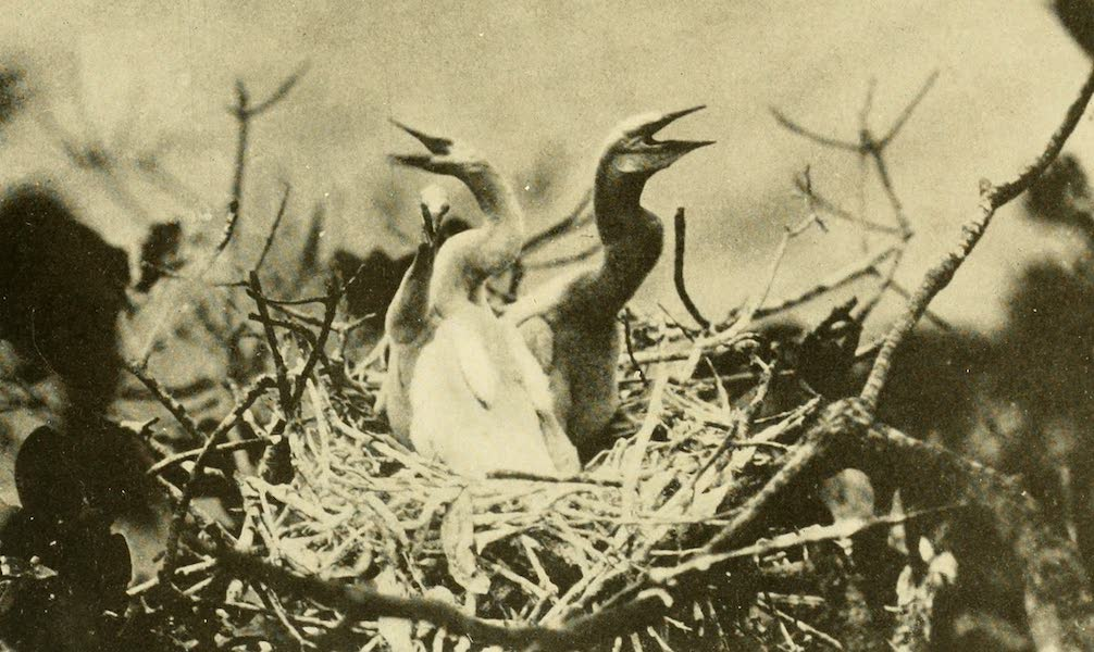 Florida, the Land of Enchantment - Water Turkeys (1918)