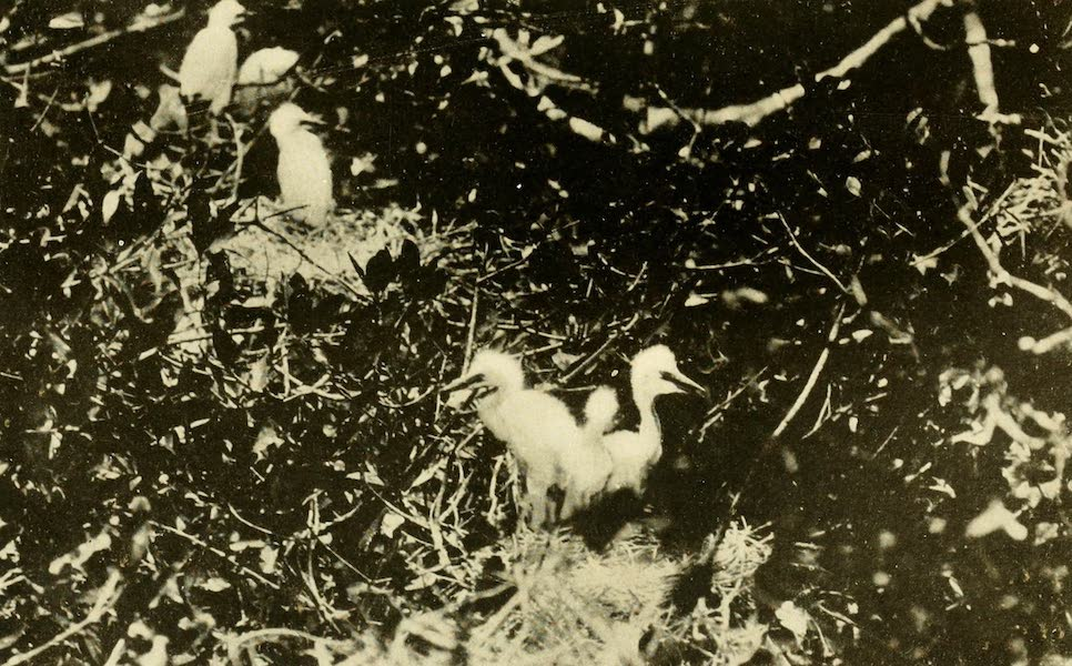 Florida, the Land of Enchantment - Baby Egrets (1918)