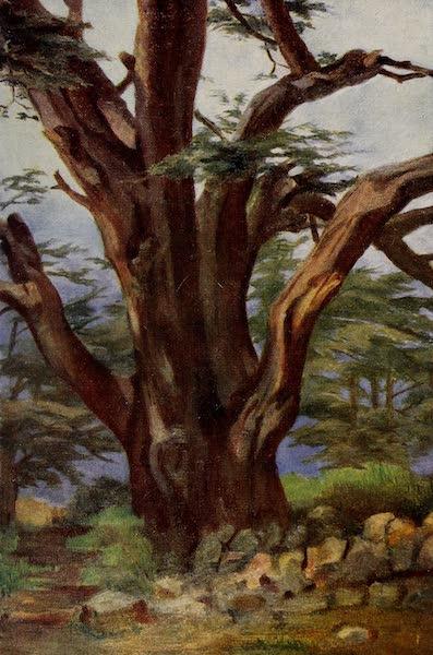 From Damascus to Palmyra - A Cedar of Lebanon (1908)