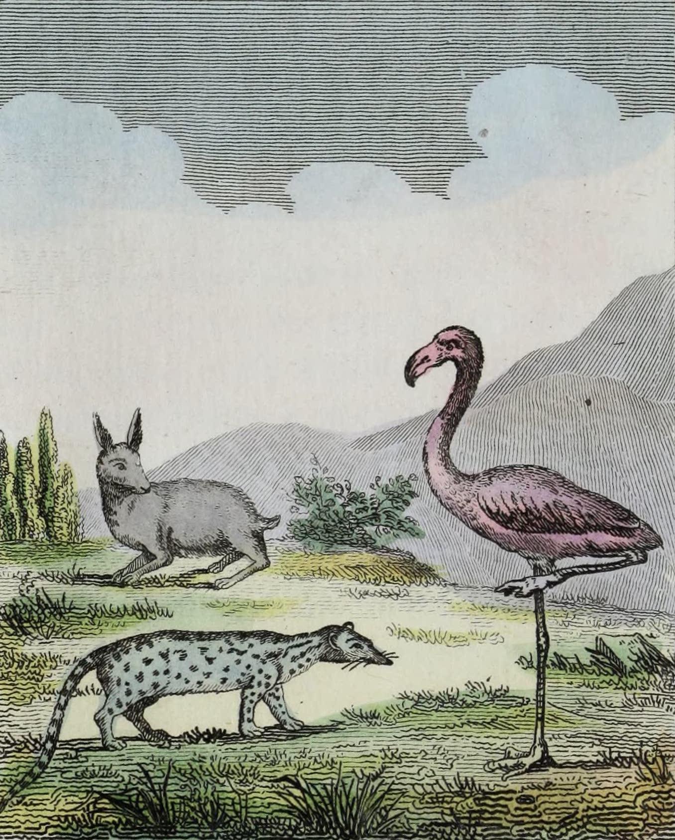 Geographie Vivante, ou, Tableaux Raisonnes - Le Lapin, la Genette, Le Flammant (1821)