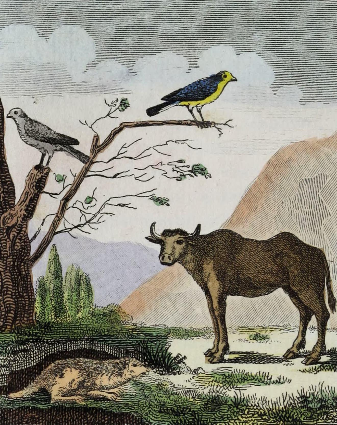 Geographie Vivante, ou, Tableaux Raisonnes - Les Bee-figues, la Marmotte, le Buffle (1821)