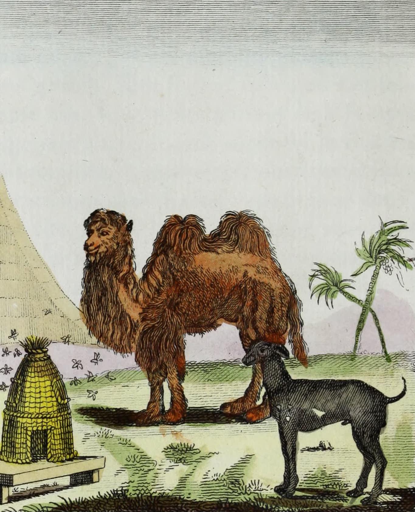 Geographie Vivante, ou, Tableaux Raisonnes - Le Chameau, le Chien Turc, les Abeilles (1821)