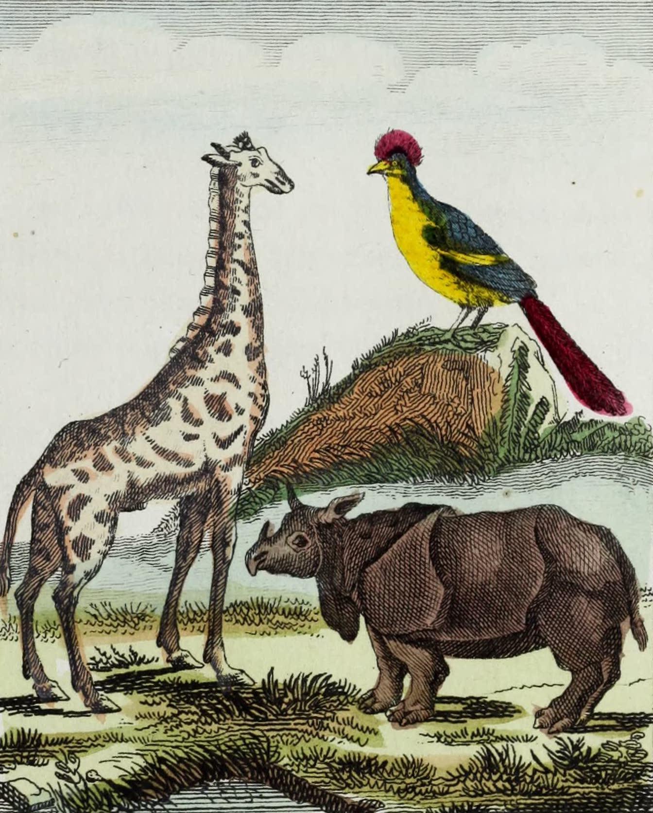 Geographie Vivante, ou, Tableaux Raisonnes - Le Touraco, la Giraffe, le Rhinoceros (1821)