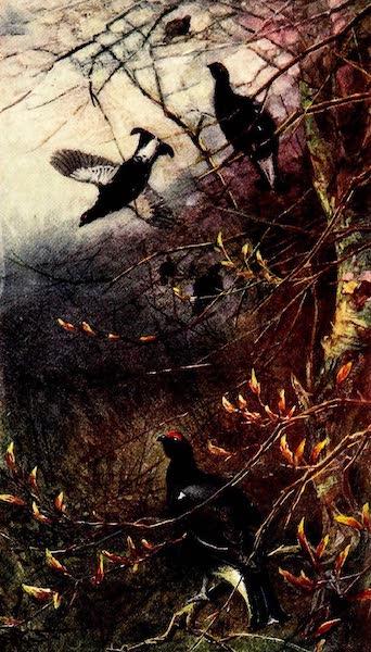 Blackcock feeding on the Buds