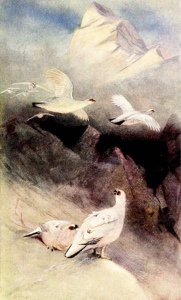 Grouse and Grouse Moors - Ptarmigan in Midwinter (1910)