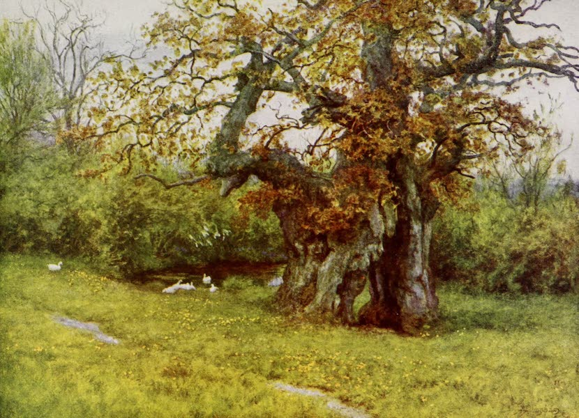 Happy England Painted and Described - The Waller Oak, Coleshill (1909)
