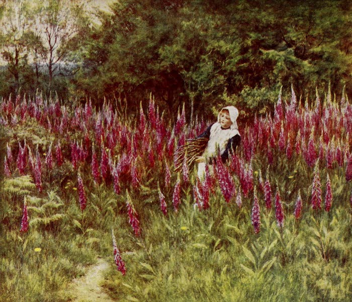 Happy England Painted and Described - Foxgloves (1909)