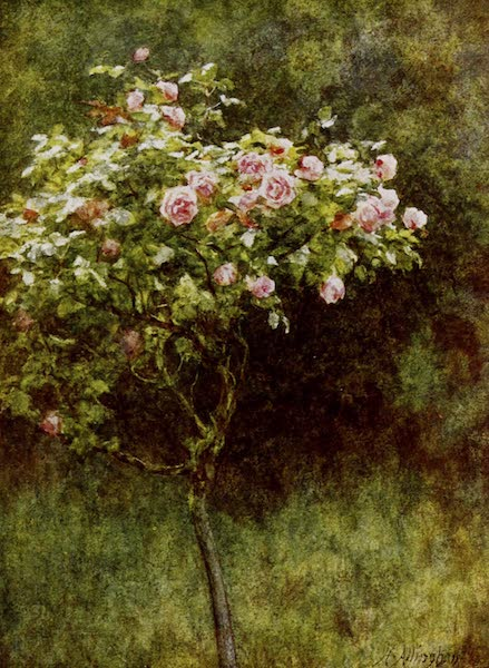 Happy England Painted and Described - Study of a Rose Bush (1909)