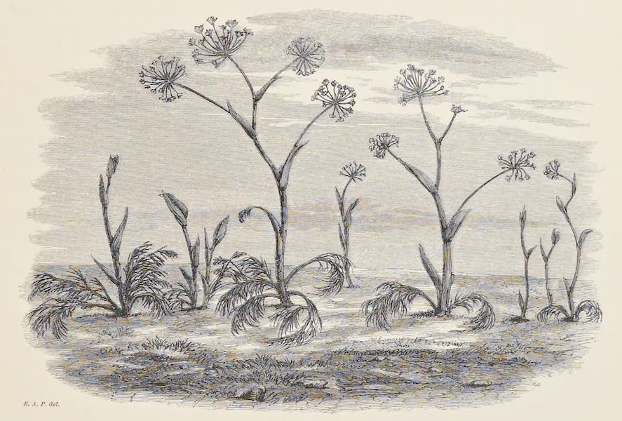 History of the Recent Discoveries at Cyrene - Thapsia Garganica (1864)