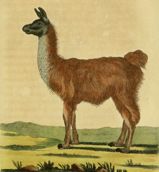 The Lama of South America