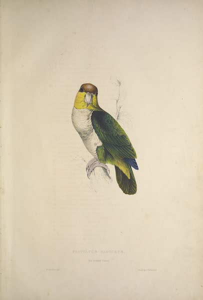 Illustrations of the Family of Psittacidae, or Parrots - <i>Psittacus badiceps</i> - Bay-Headed Parrot (1832)