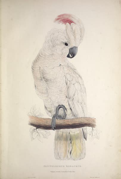 Illustrations of the Family of Psittacidae, or Parrots - <I>Plyctolophus rosaceus</i> - Salmon-crested Cockatoo (1832)