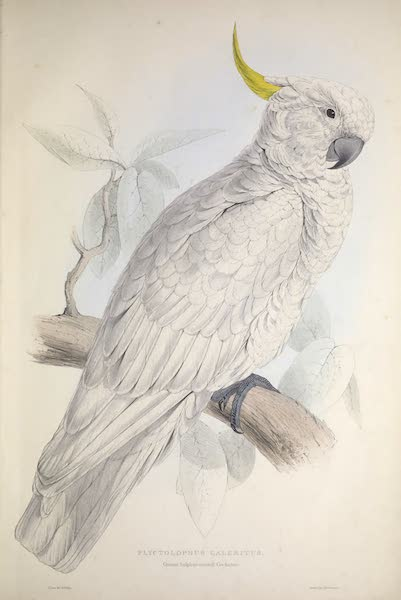 Illustrations of the Family of Psittacidae, or Parrots - <i>Plyctolophus galeritus</i> - Greater Sulphur-crested Cockatoo (1832)