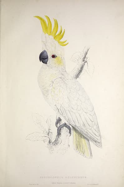 Illustrations of the Family of Psittacidae, or Parrots - <i>Plyctolophus sulphureus</i> - Lesser Sulphur-crested Cockatoo (1832)